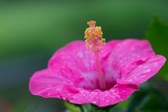 Imagen del primer de la flor rosada del hibisco Foto de archivo