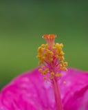 Imagen del primer de la flor rosada del hibisco Fotografía de archivo libre de regalías