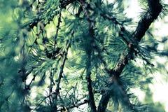 Imagen del primer de las ramas del alerce con las agujas Imagenes de archivo