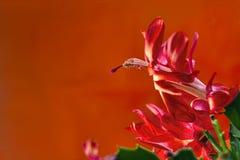 Imagen del primer de un flor del cactus de la Navidad Foto de archivo libre de regalías