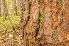 Imagen del primer de un pino en el bosque en un fondo borroso de la tierra cubierta con las hojas de otoño caidas tuxture Foto de archivo