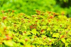 Imagen del primer del nuevo arbusto verde Imágenes de archivo libres de regalías