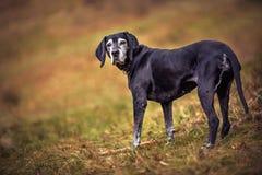 Imagen del primer del perro mayor con el pelo gris foto de archivo