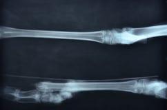 Imagen del rayo x del animal salvaje Imagen de archivo