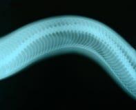 Imagen del rayo x del animal salvaje Imagen de archivo libre de regalías
