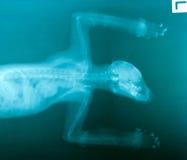 Imagen del rayo x del animal salvaje Imagenes de archivo