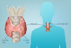 Imagen del sistema de la tiroides Fotografía de archivo libre de regalías