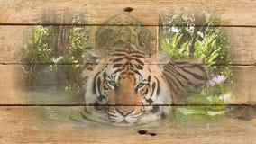 Imagen del tigre en la madera vieja Fotos de archivo libres de regalías