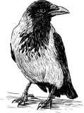 Cuervo grande Foto de archivo libre de regalías