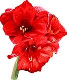 Imagen detallada aislada de la flor de la amarilis en a Foto de archivo libre de regalías