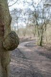 Imagen detallada de las rebabas del árbol, también conocida como burl en Norteamérica Crecimiento visto en el lado de este árbol  Imagen de archivo libre de regalías
