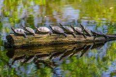 Imagen divertida de tortugas agradables en fila en un tronco de árbol viejo en los elegans del scripta de Trachemys del lago Imagen de archivo libre de regalías