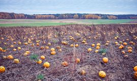 Imagen entonada vintage de un campo de la calabaza en otoño imagen de archivo