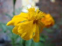 Imagen floreciente de la flor de la maravilla Foto de archivo