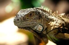 Imagen grande de una iguana Imágenes de archivo libres de regalías