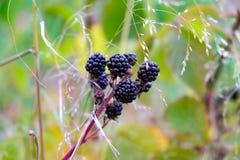 Imagen hermosa de Blackberry maduro en una rama Foto de archivo