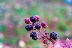 Imagen hermosa de Blackberry maduro en una rama Imágenes de archivo libres de regalías
