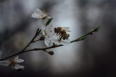 Imagen hermosa de la abeja en cierre de la flor blanca encima de la macro mientras que co Foto de archivo libre de regalías