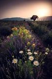Imagen hermosa del campo de la lavanda y de los camomiles blancos Fotografía de archivo