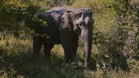 Imagen hermosa del elefante salvaje tranquilo grande que come la hierba verde en el hábitat natural, bosque soleado del verano de almacen de video