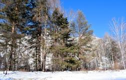 Imagen hermosa del invierno landscape Montañas y abedules siberia Khakassia Imagenes de archivo