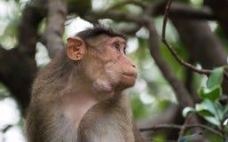 Imagen hermosa del macaque de capo que se sienta en un árbol que mira maneras laterales imágenes de archivo libres de regalías