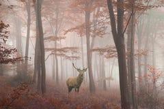 Imagen hermosa del macho de los ciervos comunes en bosque colorido del otoño de niebla foto de archivo
