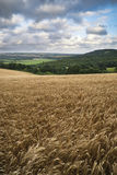 Imagen hermosa del paisaje del campo agrícola enorme de la cebada o Fotografía de archivo