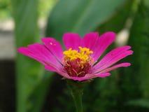 Imagen hermosa del primer de la flor del zinnia foto de archivo