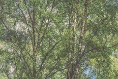 Imagen horizontal del follaje temprano de la primavera del borrachín - SP vibrante del verde Fotografía de archivo