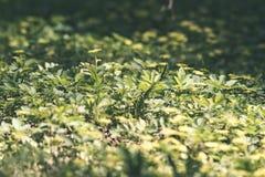 Imagen horizontal del follaje temprano de la primavera del borrachín - SP vibrante del verde Foto de archivo libre de regalías