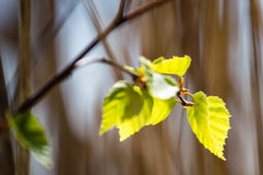 Imagen horizontal del follaje temprano de la primavera del borrachín - SP vibrante del verde Imagen de archivo libre de regalías