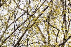 Imagen horizontal del follaje temprano de la primavera del borrachín - SP vibrante del verde Fotos de archivo