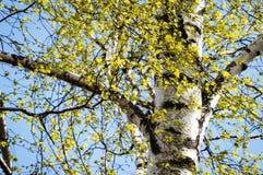 Imagen horizontal del follaje temprano de la primavera del borrachín - SP vibrante del verde Fotografía de archivo libre de regalías