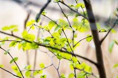 Imagen horizontal del follaje temprano de la primavera del borrachín - SP vibrante del verde Imágenes de archivo libres de regalías