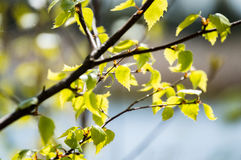 Imagen horizontal del follaje temprano de la primavera del borrachín - SP vibrante del verde Fotos de archivo libres de regalías