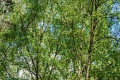 Imagen horizontal del follaje temprano de la primavera del borrachín - SP vibrante del verde Foto de archivo