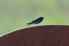 Imagen lateral del primer del perfil de una libélula azul inmóvil imagen de archivo libre de regalías