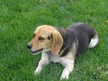 Imagen linda del beagle Foto de archivo libre de regalías