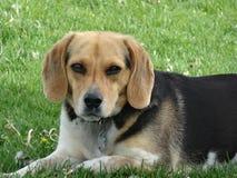 Imagen linda del beagle Imágenes de archivo libres de regalías