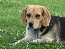 Imagen linda del beagle Fotografía de archivo libre de regalías