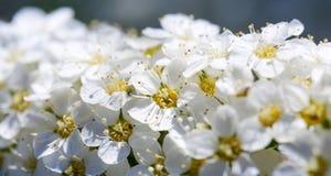 Imagen macra con el arbusto del spiraea que muestra los detalles de flores fotografía de archivo