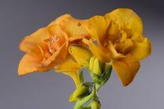 Imagen macra de dos fresias amarillas Imagen de archivo libre de regalías