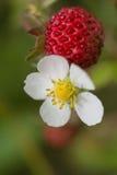 Imagen macra de la flor de la fresa salvaje y de la fresa Imagenes de archivo