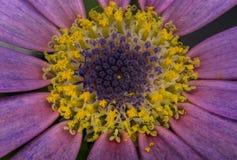 Imagen macra de la flor de Senetti en la floraci?n foto de archivo libre de regalías