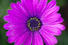 Imagen macra de la flor violeta de la primavera, fondo floral suave abstracto Imágenes de archivo libres de regalías