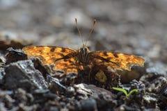 Imagen macra de la mariposa imágenes de archivo libres de regalías
