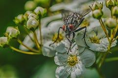 Imagen macra de la mosca en una hoja Imágenes de archivo libres de regalías
