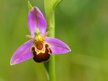 Imagen macra de la orquídea de abeja Fotografía de archivo