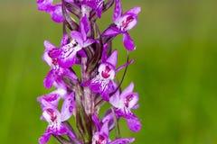 Imagen macra de la orquídea salvaje en el acantilado de Møn, Dinamarca imagen de archivo libre de regalías